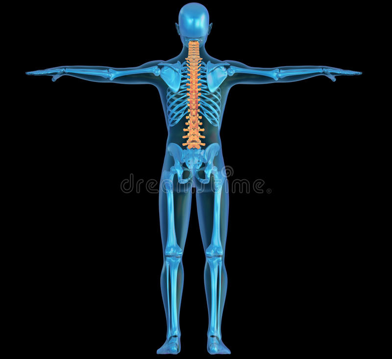 Download Human Body, Skeleton And Spine Stock Image - Image: 23395721