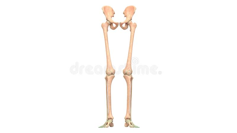 Human Body Skeleton System Lower Limbs Bone Joints Anatomy. 3D Illustration of Human Body Skeleton System Lower Limbs Bone Joints Anatomy vector illustration