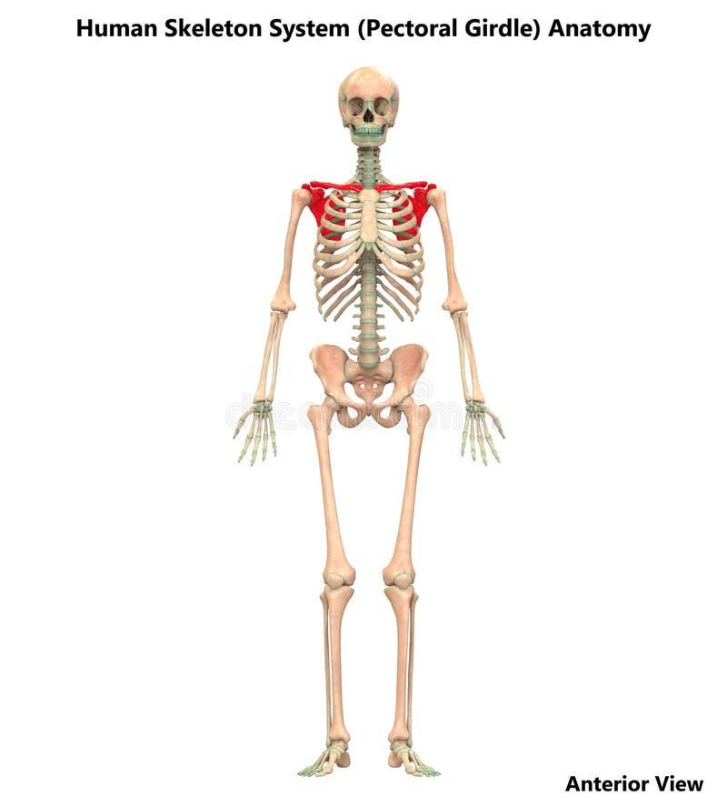 Free Human Body Skeleton System Pectoral Girdle Bone Joints Anatomy Stock Photo - 132590450