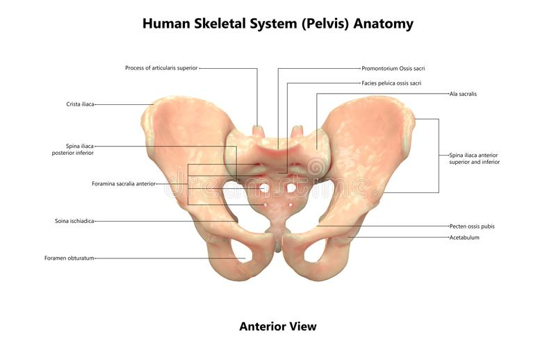 Human Body Skeleton System Pelvis Anterior View Anatomy. 3D Illustration Of Human Body Skeleton System Pelvis Anterior View Anatomy stock illustration