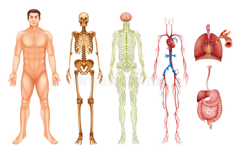 Human body systems vector illustration