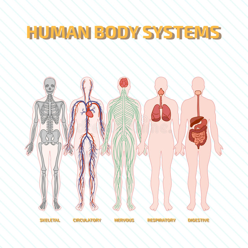 Human Body Systems Stock Vector Illustration Of Diagram 68672583