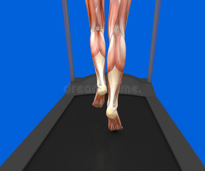 Human body, woman running, muscular system, treadmill, gym. Human body, woman running on a treadmill, muscular system, gym, gymnastics, 3d rendering vector illustration