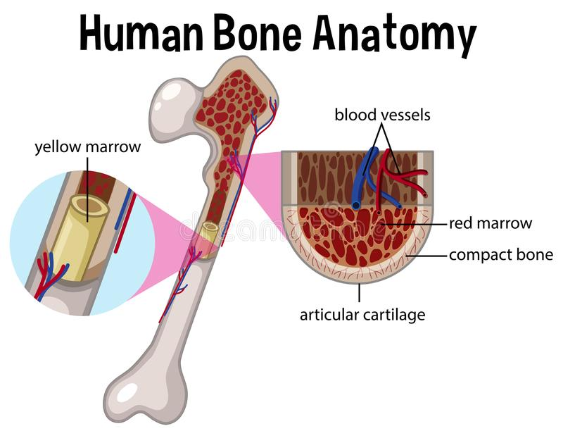 Human Bone Anatomy and Diagram. Illustration vector illustration