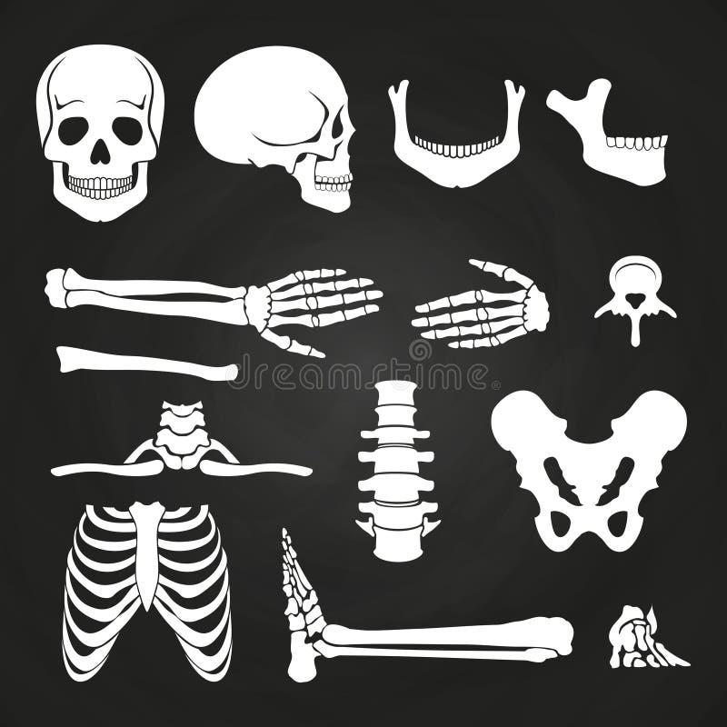 Human bones collection on chalkboard. Skeleton human anatomy, backbone and hand bone. Vector illustration vector illustration