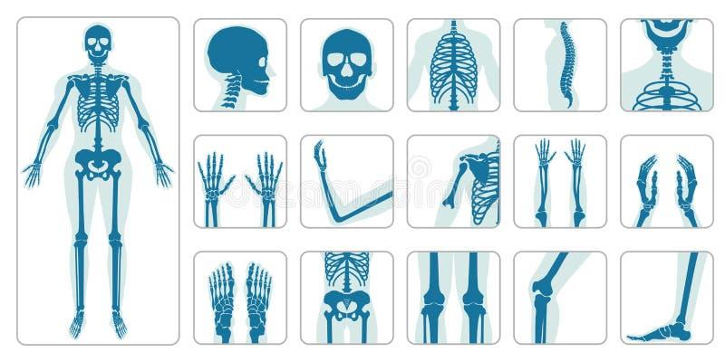 Human bones orthopedic and skeleton icon set. On white background, bone x-ray image of human joints, anatomy skeleton flat design vector illustration royalty free illustration