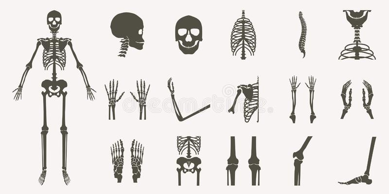 Human bones orthopedic and skeleton silhouette. Collection set on white background, bone x-ray image of human joints, anatomy skeleton flat design vector royalty free illustration