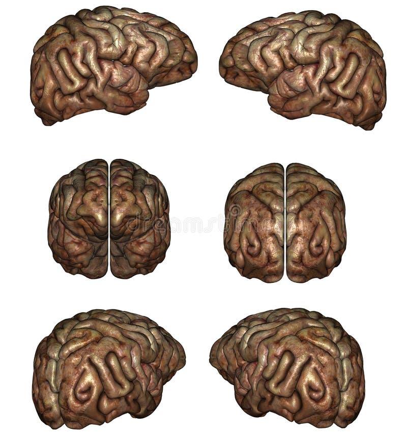 Download Human brain stock illustration. Image of graphic, head - 17295830
