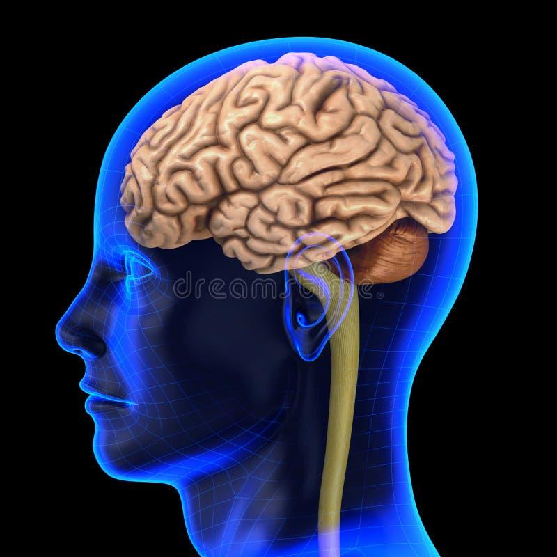 Download The human brain stock illustration. Illustration of radiology - 20460925