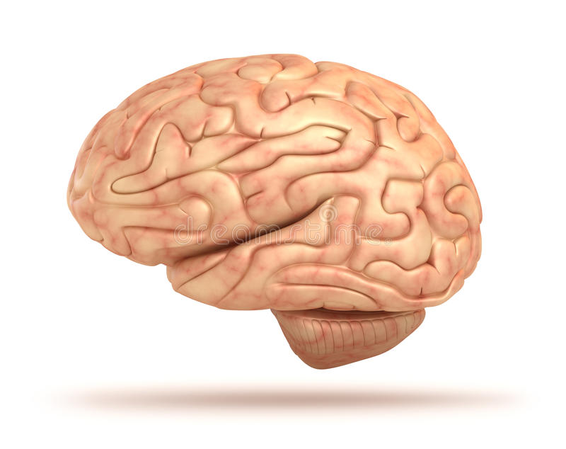 Human brain 3D model stock illustration. Illustration of head - 24452666