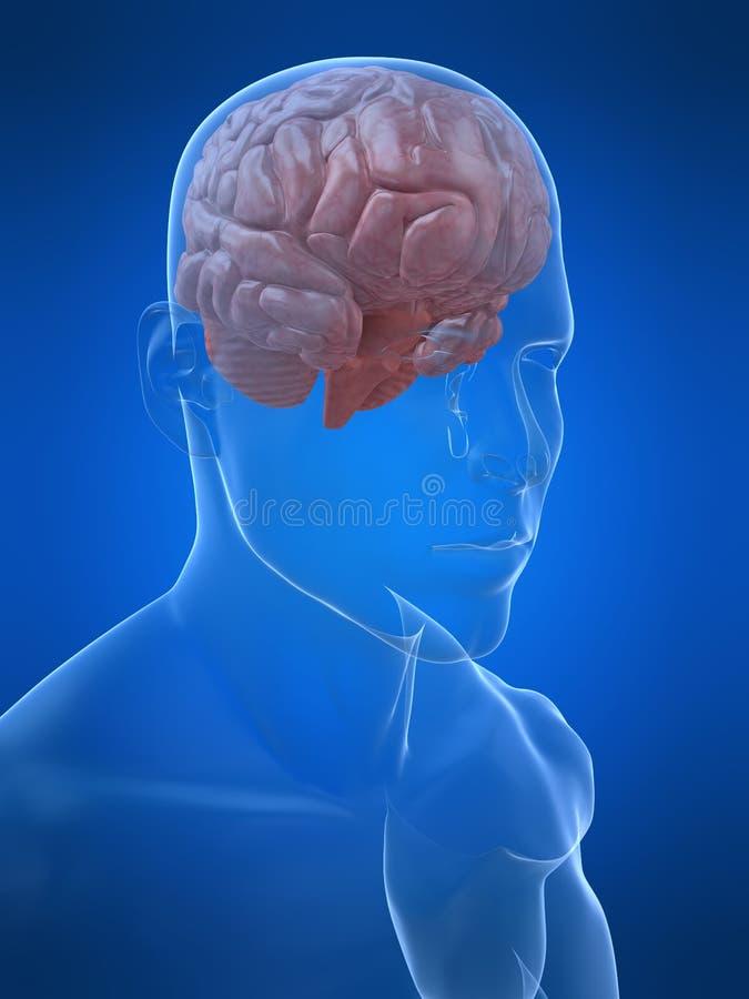 Download Human brain stock illustration. Image of neurology, mind - 5971796