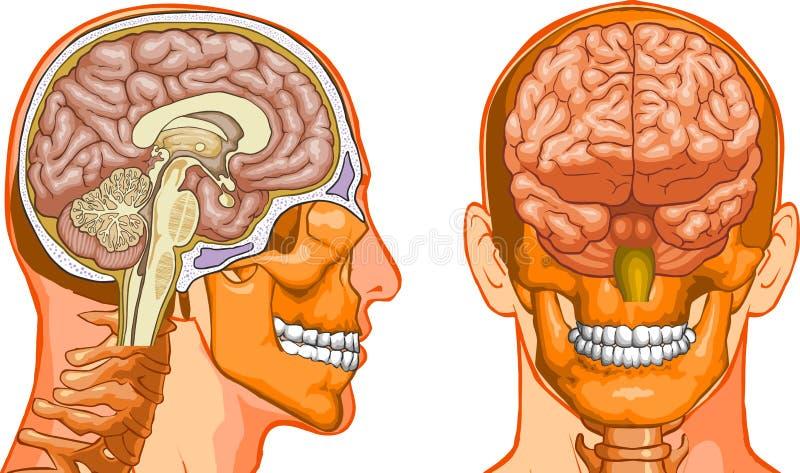 Download Human Brain stock vector. Illustration of nerve, health - 6055964