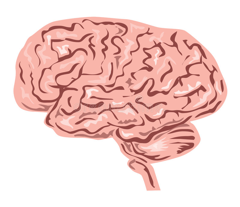 Download Human brain stock illustration. Image of cerebellum, sensory - 7405805