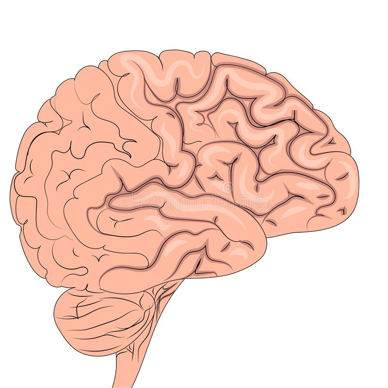The human brain is actively working. Isolated object on white background. Raster. Illustration vector illustration