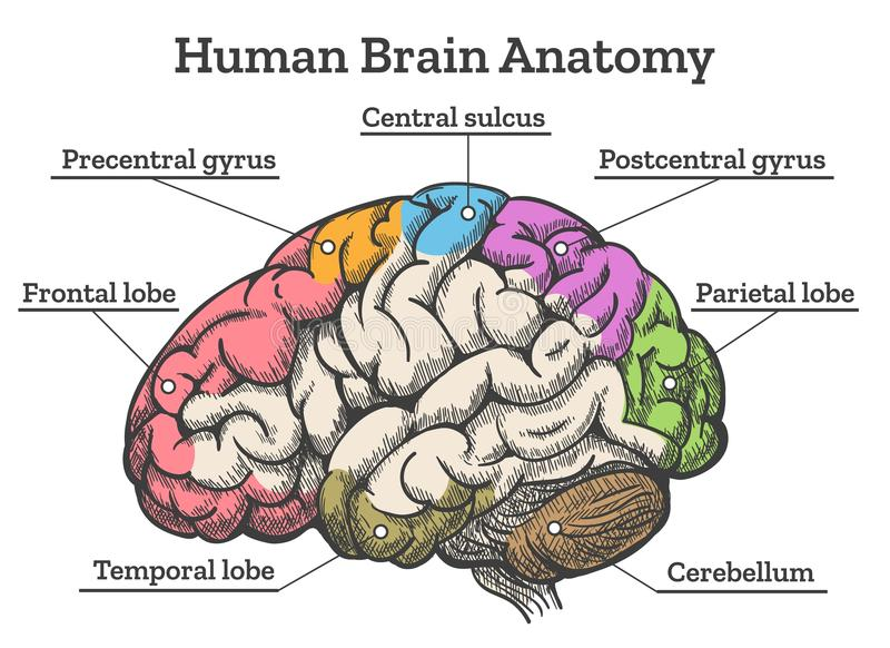 A diagram of the human brain electrical work wiring diagram human brain anatomy diagram stock vector illustration of lateral rh dreamstime com a labeled diagram of ccuart Image collections