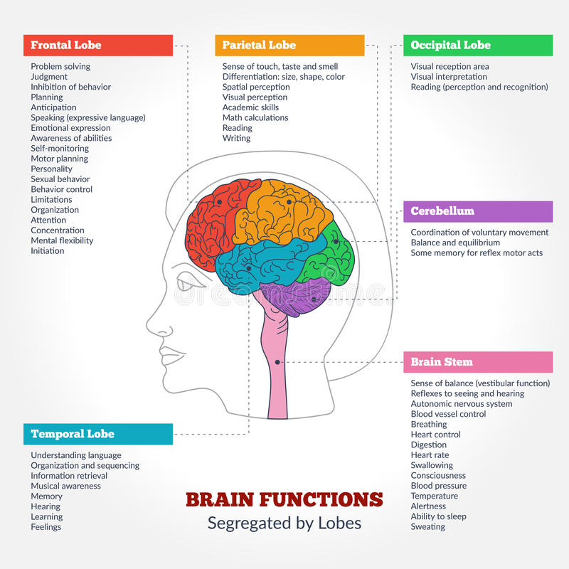 Human Brain Anatomy And Functions Stock Vector - Illustration of ...
