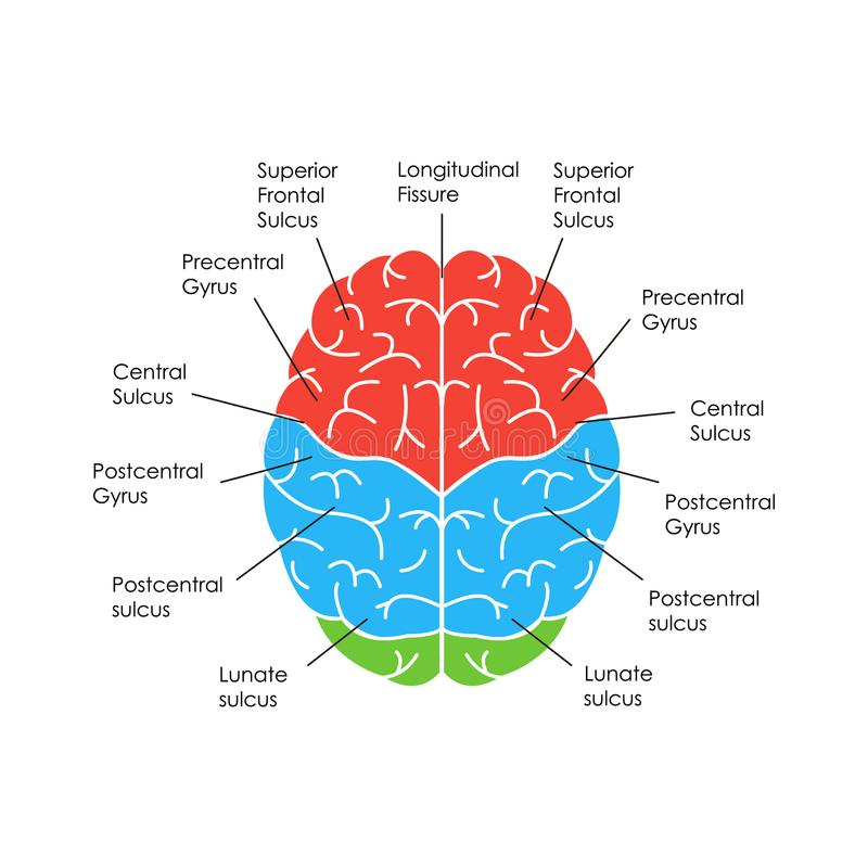 Parts Of The Brain Labeled Top View - Aflam-Neeeak