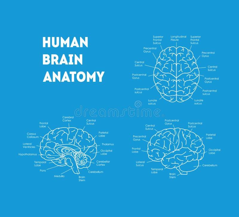 Human Brain Anatomy Card Poster. Vector Stock Vector - Illustration ...