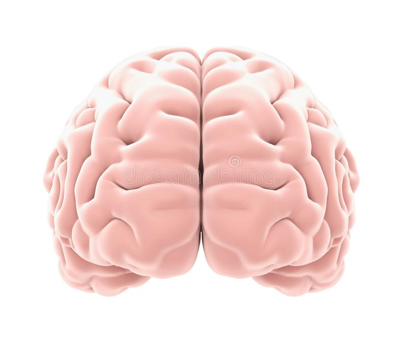 Human Brain Anatomy Isolated Stock Illustration Illustration Of