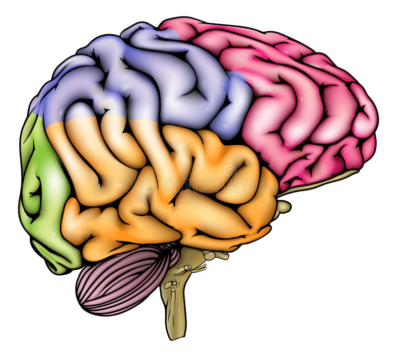 Human Brain Anatomy Sectioned Stock Vector Illustration Of