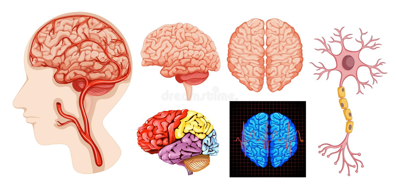 Human brain anatomy technical medical royalty free illustration