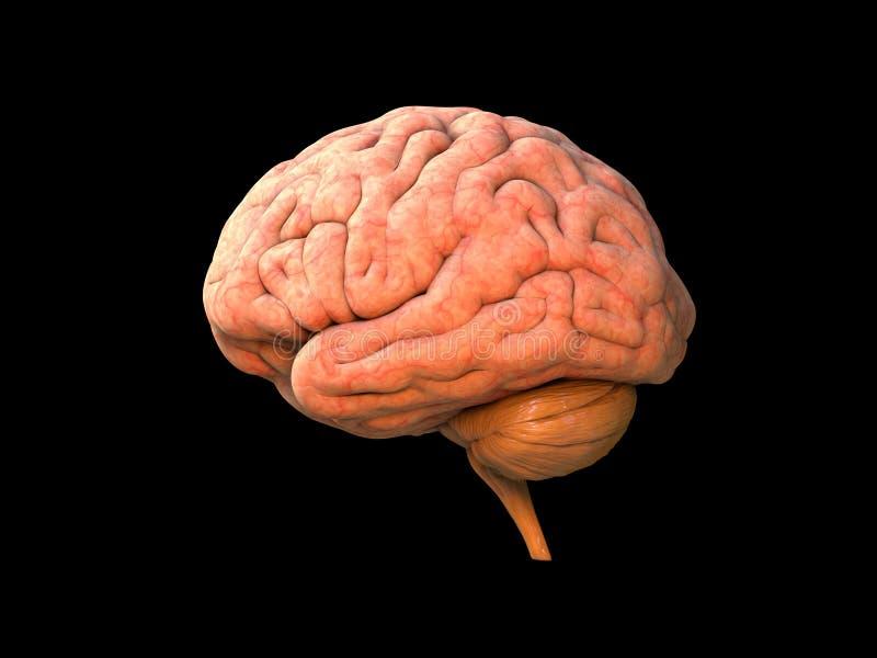 Human brain anatomy royalty free illustration