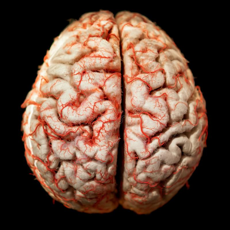 Human brain closeup. Gyrus anatomy royalty free stock photos