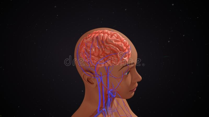 Human Brain. The human brain is the command center for the human nervous system. It receives input from the sensory organs and sends output to the muscles. The stock photo