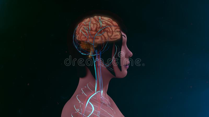 Human Brain. The human brain is the command center for the human nervous system. It receives input from the sensory organs and sends output to the muscles. The royalty free stock images