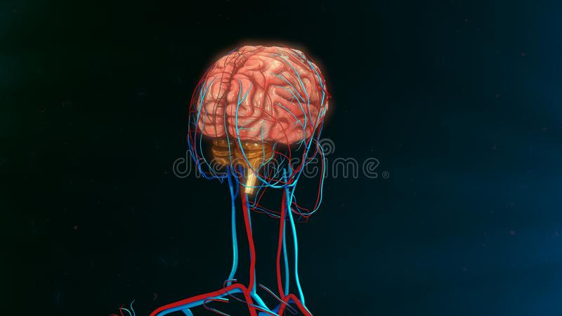 Human Brain. The human brain is the command center for the human nervous system. It receives input from the sensory organs and sends output to the muscles. The royalty free illustration