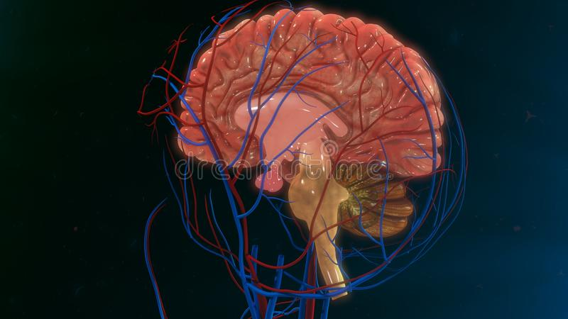 Human Brain. The human brain is the command center for the human nervous system. It receives input from the sensory organs and sends output to the muscles. The vector illustration