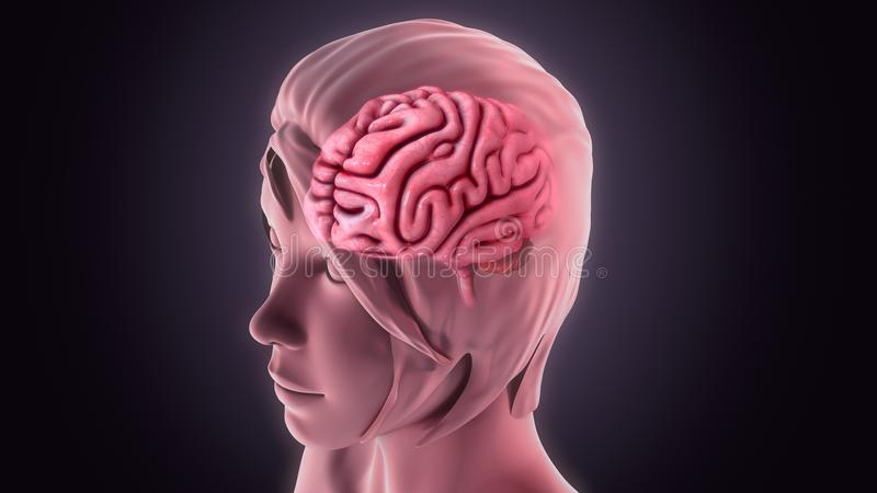 Human Brain. The human brain is the command center for the human nervous system. It receives input from the sensory organs and sends output to the muscles. The stock illustration