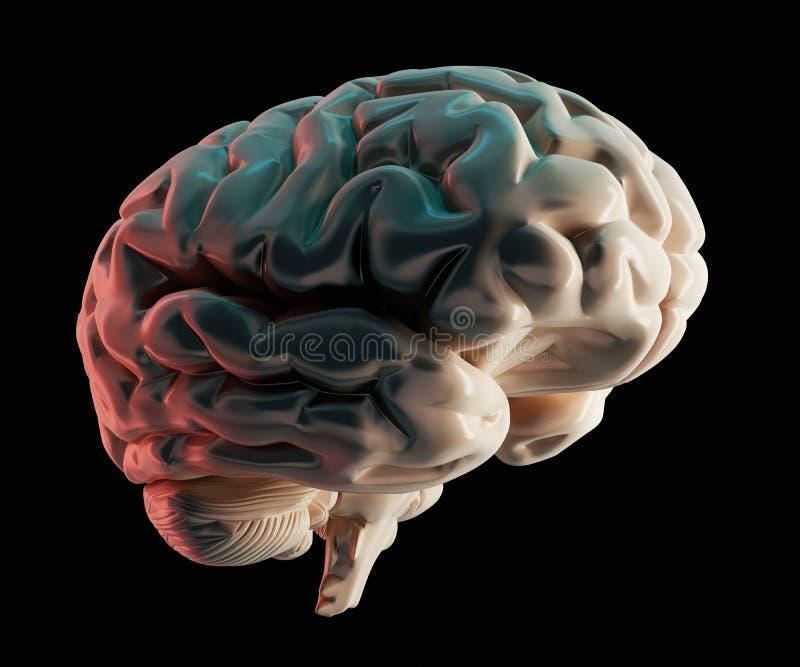 Human brain 3D model stock illustration. Illustration of nerve ...