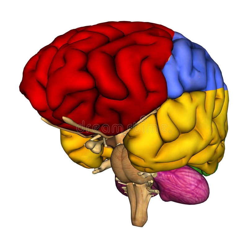 Human Brain Diagram. 3D digital render of a human brain diagram isolated on white background royalty free illustration