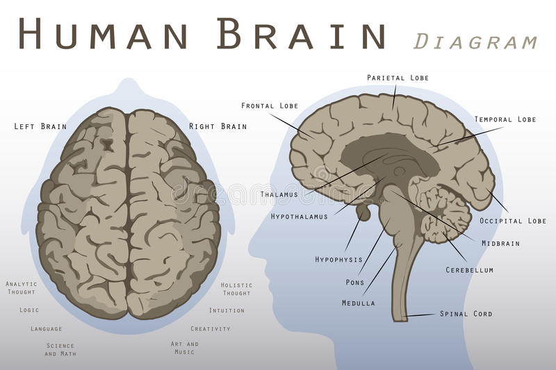 Human Brain Diagram vector illustration