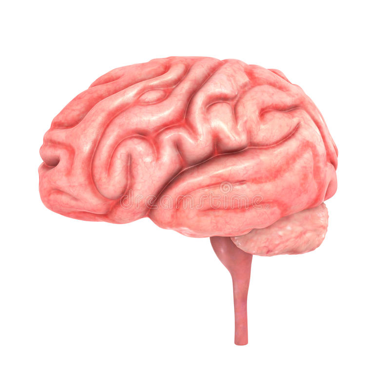 Human Brain. The human brain has many properties that are common to all vertebrate brains, including a basic division into three parts called the forebrain royalty free stock photography
