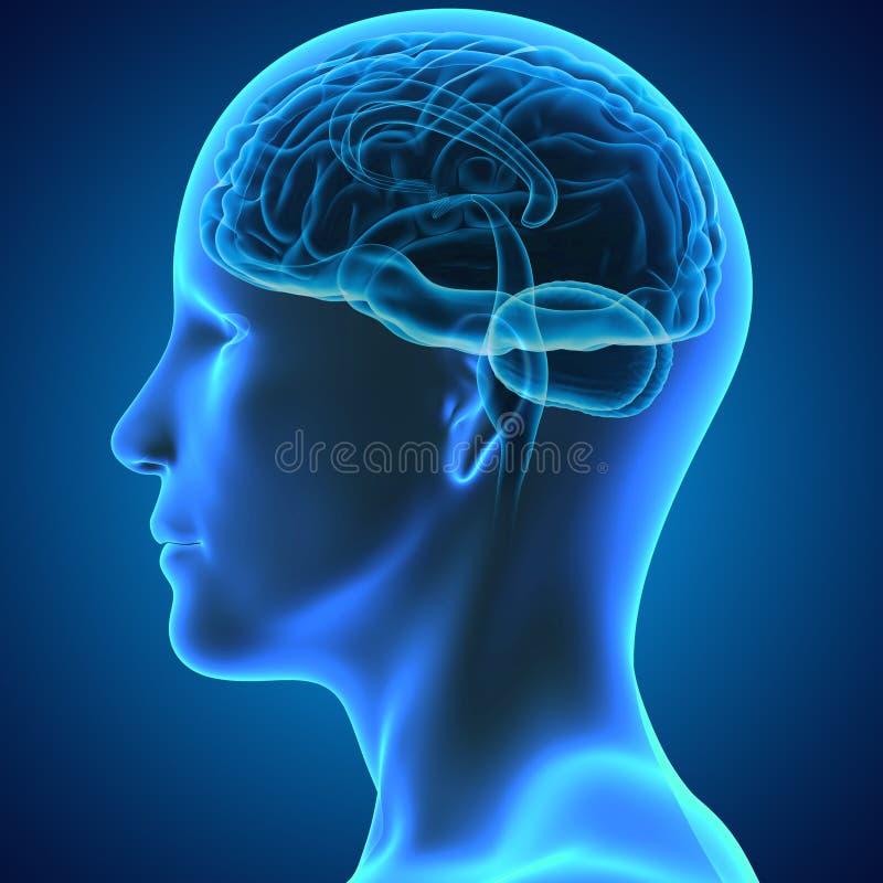 Human brain stock illustration illustration of neurology 47649161 download human brain stock illustration illustration of neurology 47649161 ccuart Images