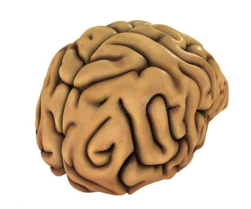 Human brain illustration stock illustration