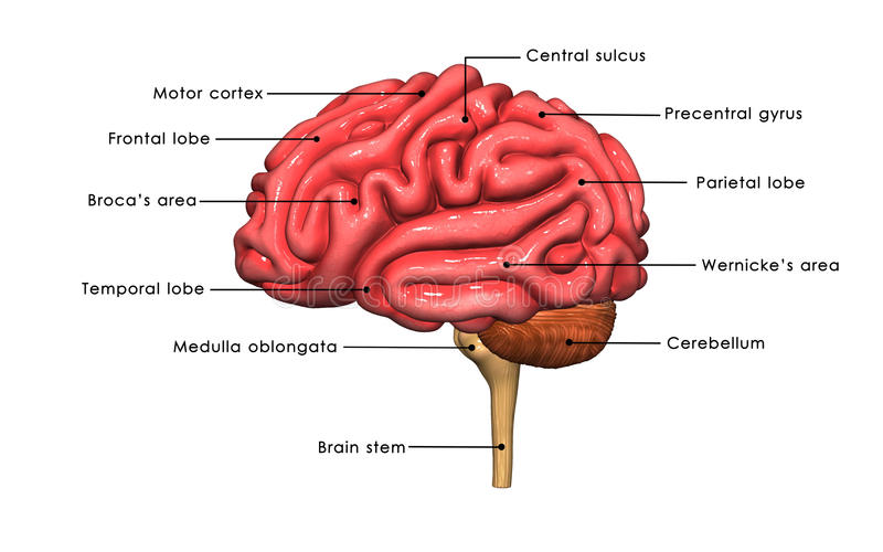 Human Brain Labelled Stock Illustration Illustration Of Biology