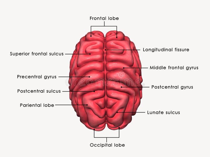 Human Brain labelled royalty free illustration