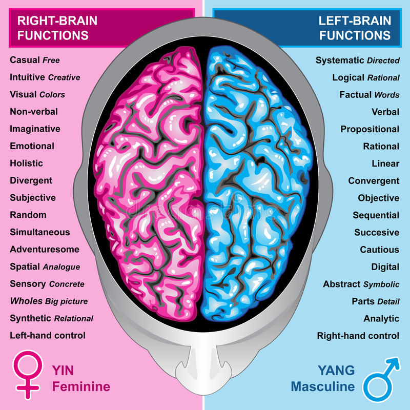 Human brain left and right functions. Ilustration body part,human brain left and right functions, yin and yang, feminine and masculine vector illustration