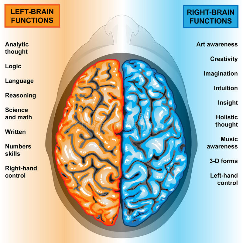 Human brain left and right functions. IIlustration body part,human brain left and right functions stock illustration