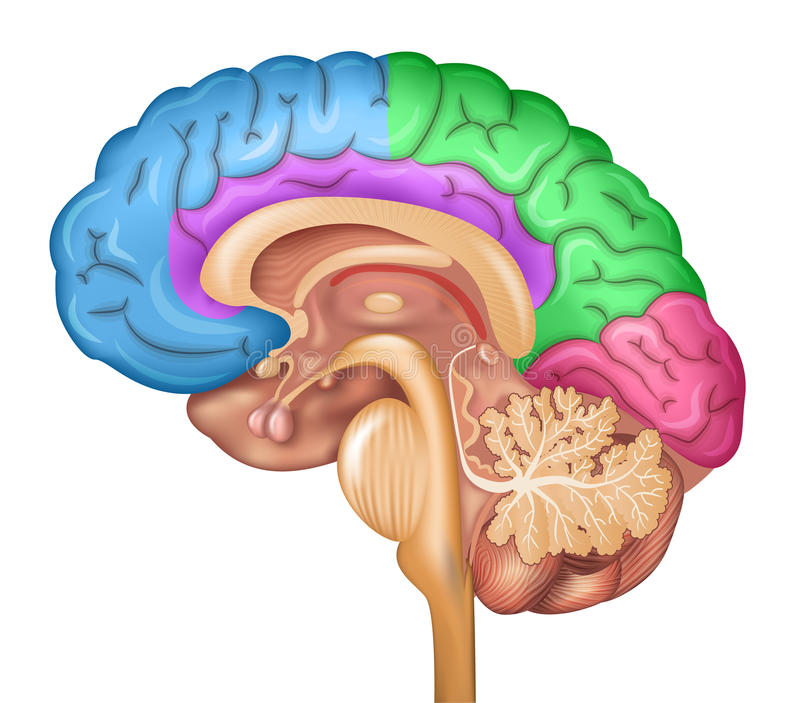 Human brain lobes. Beautiful colorful illustration detailed anatomy. Sagittal view of the brain. Isolated on a white background