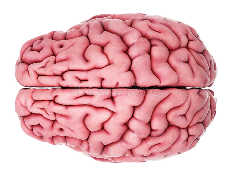 The human brain royalty free illustration
