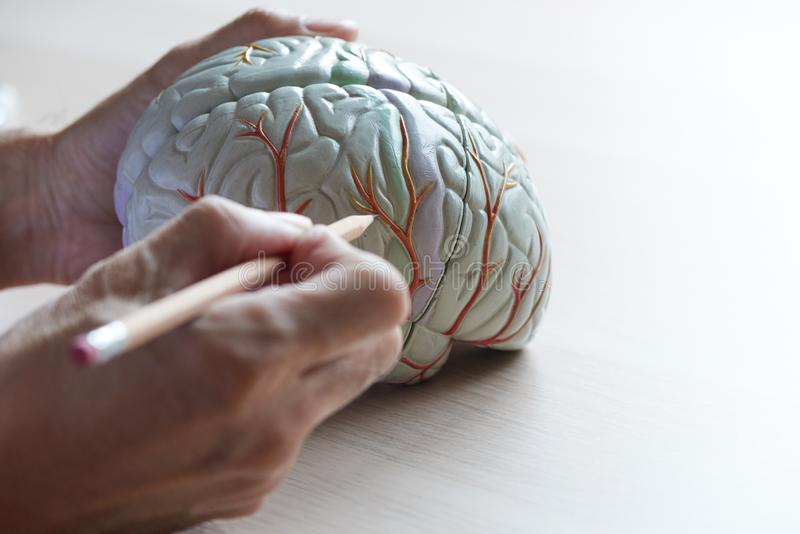 Human brain model on the table royalty free stock image