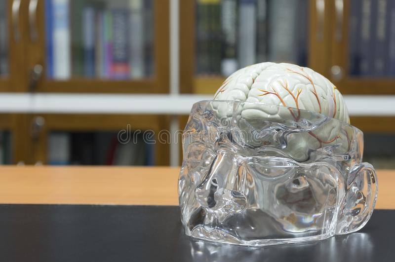Brain model on the table stock photography