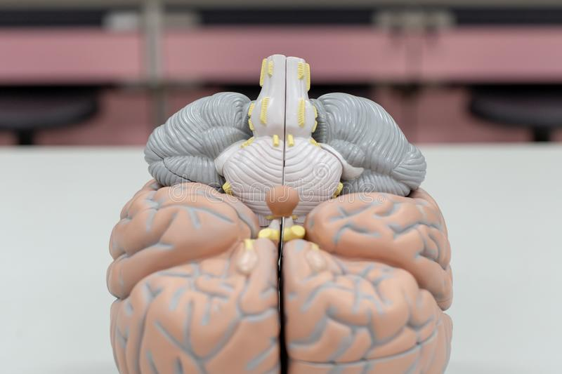 Human brain model for education. And for testing in laboratory stock images