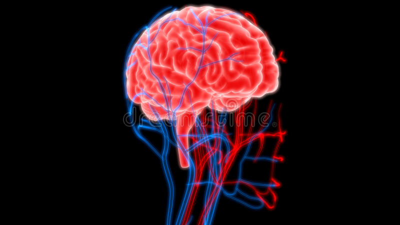 Human Brain With Nerves Veins And Arteries Anatomy Stock