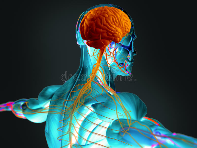 Human brain and nervous system. 3D imaging of human brain and nervous system royalty free stock images