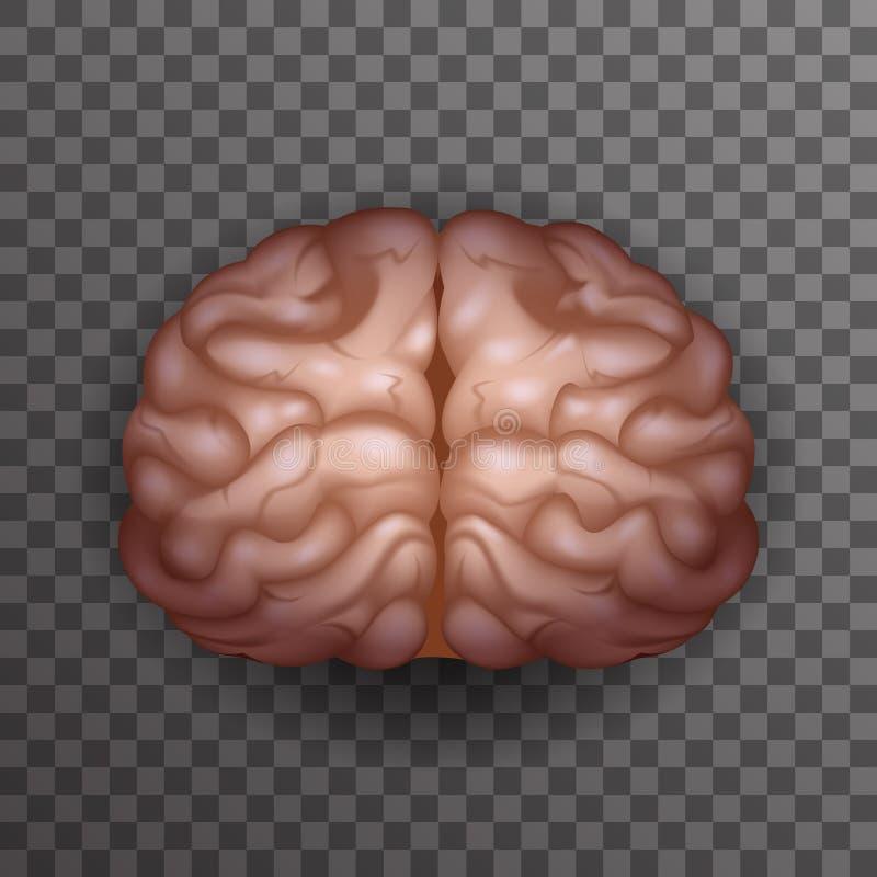 Human Brain Realistic 3d Poster Transparent Background Icon Template Mockup Design Vector Illustration royalty free illustration